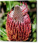 Banksia In Red Canvas Print