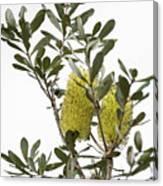 Banksia Syd02 Canvas Print