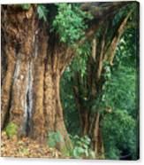 Banyan Tree Haleakala National Park Canvas Print