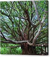 Banyan Tree Canvas Print