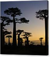Baobab Forest At Sunset Canvas Print