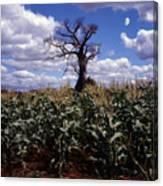 Baobaba Tree Canvas Print