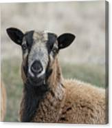 Barbados Blackbelly Sheep Portrait Canvas Print