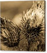 Barbed Beauties Canvas Print