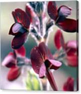 Barbed Thermopsis Or Black Pea Canvas Print