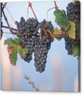 Barbera Grapes Ready For Harvest South Canvas Print