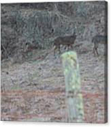 Barbwire And Whitetails Canvas Print