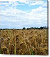 Barley And Sky In Oulu, Finland. Canvas Print
