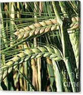 Barley, Green Stage Canvas Print