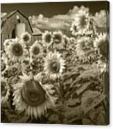 Barn And Sunflowers In Sepia Tone Canvas Print