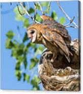 Barn Owl Owlet Climbs Out Of Nest Canvas Print