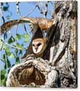 Barn Owl Owlet Stretches High Canvas Print