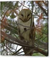 Barn Owl Sleeping Canvas Print