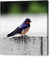 Barn Swallow At Fort Larned Canvas Print