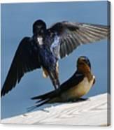 Barn Swallows Canvas Print