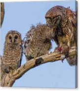 Barred Owl Family Canvas Print