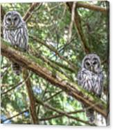 Barred Owl Fledglings Canvas Print