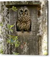 Barred Owl In Nest Box Canvas Print
