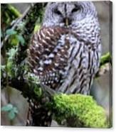 Barred Owl In Tree Canvas Print