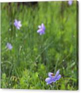 Bartram's Ixia And Bee #3 Canvas Print