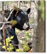 Bashful Black Bear Canvas Print