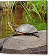 Basking Blanding's Turtle Canvas Print
