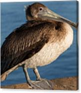 Basking Pelican Canvas Print