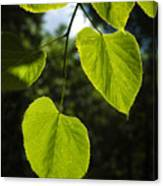 Basswood Leaves Against Dark Forest Background Canvas Print
