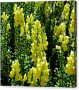 Batch Of Yellow Snapdragons Canvas Print