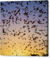 Bats At Bracken Cave Canvas Print