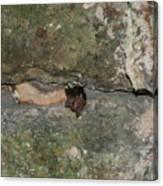 Bats Inside The Pyramid At Grupo Nohoch Mul At The Coba Ruins  Canvas Print