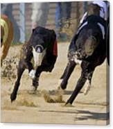 Battle Of The Racing Greyhounds At The Track Canvas Print