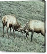 Battling Elk Canvas Print