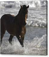 Bay Andalusian Stallion In The Surf Canvas Print