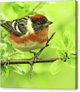 Bay-breasted Warbler Canvas Print