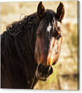 Bay Stallion Of Piceance Basin Canvas Print