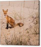 Beach Fox Canvas Print