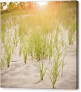 Beach Grasses Number 3 Canvas Print
