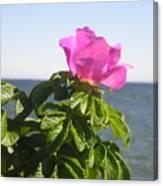 Beach Rose Canvas Print