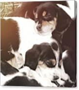 Beagle Pile Canvas Print