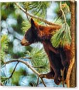 Bear Cub In A Tree 3 Canvas Print