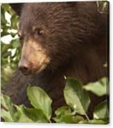 Bear Cub In Apple Tree1 Canvas Print