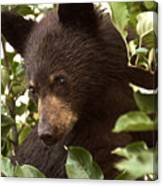 Bear Cub In Apple Tree2 Canvas Print