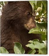 Bear Cub In Apple Tree3 Canvas Print