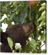 Bear Cub In Apple Tree4 Canvas Print