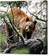 Bear In Trees Canvas Print