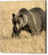 Bear On The Prowl Canvas Print