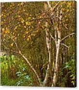 Bearch Canvas Print