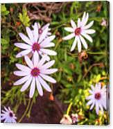 Beautiful African White Daisies Canvas Print