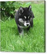 Beautiful Alusky Puppy Dog Walking Through Thick Green Grass Canvas Print